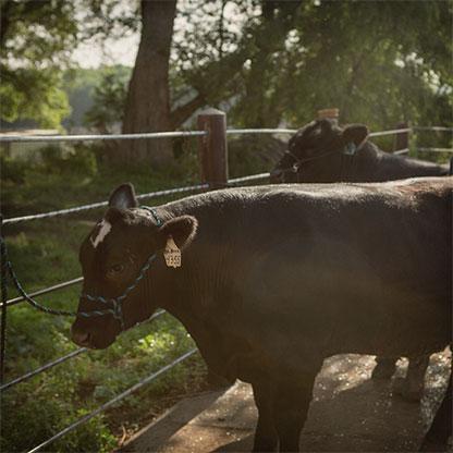 cow hormones affect humans